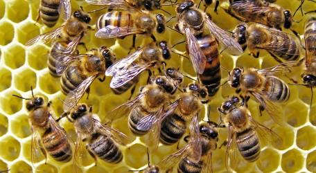Hostess of bee family