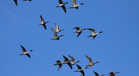 1 Ducks migrating, Cirkewwa March 2017_Raymond Galea